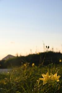 Nikon Digital Camera 夕菅の花=ゆうすげのはな ※夕方に花咲く品種☆ ススキノキ科ワスレグサ属の多年草。