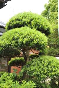 Nikon Digital Camera D700 槙の木=まきのき ※マキ科マキ属の常緑針葉樹。樹形が美しく、世界三大庭園木に数えられます。たいへん丈夫で育てやすいので、庭木や生垣などに好んで使用されます。