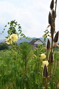 Nikon Digital Camera オクラの花