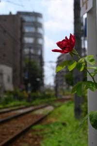 Nikon Digital Camera 気温35℃の赤バラ 南大塚都電沿線に咲くバラの花です☆ クーラーもないのに頑張って耐えている様子でした(^^; 8/17(土)正午頃