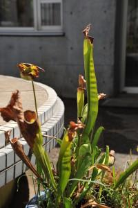Nikon Digital Camera D700 サラセニアのタネちゃん☆ ※食虫植物(しょくちゅうしょくぶつ)のサラセニアです。タネがついていたので二度見してしまいました(^^; 湿地に生えている植物で、筒の中に虫を誘い込んで栄養にして生長の糧にしているそうです。 食虫植物はその性質や、独特の形から観賞価値が高く、地味に人気でのようです☆