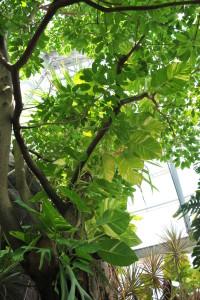 Nikon Digital Camera D700 ポトスの葉 ※植物園で見たポトスちゃんです。地面に植わっていて、植物本体もよく育っているので葉のサイズも非常に大きく立派です!! 原生地では葉のサイズがメートル級になったり、モンステラのように葉に切れ込みが入ることもあるとか....そして上にいくほど葉が大きいそうです(^^;
