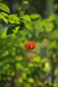 Nikon Digital Camera D700 植物園のフウリンブッソウゲ(風鈴仏桑花)