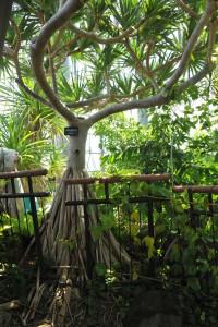 ビヨウタコノキの根の画像☆ 名前のとおり、幹を支える支柱根(しちゅうこん)がまるでタコの足のように生えていますね♪