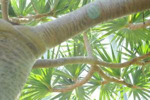 Nikon Digital Camera D700 ビヨウタコノキ=美容蛸の木