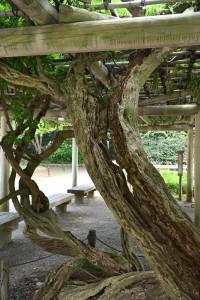 フジの幹も年数を経ると貫禄が増して、なんとも言えない雰囲気を醸し出してきます。 中央からバリバリと音をたてて割れたかのような幹の裂け目など釘付けになって見てしまいます....動きのある枝も良いですが。