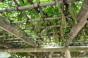 Nikon Digital Camera 晩夏の藤棚=ばんかのふじだな ※巨大な枝豆のようなものはフジの花が咲き終わったあとにできる実です☆ 「藤の実」「食べる」などで検索すると、食レポがいくつがでてきます。 そうです、食べられるのです!いざとなったときの知識に是非(^^;