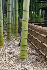 Nikon Digital Camera 竹林と竹垣=ちくりんとたけがき ※タケは「ヒゲ根」と呼ばれる根のカタチが有名です☆ 根っこにも案外おもしろい違いがあるようです。日本植物生理学会さんのサイトに興味深い根のお話がございましたので、リンクを貼らせていただきます。 よければご覧になってみてくださいませ♪ https://jspp.org/hiroba/q_and_a/detail.html?id=4124&key=&target=