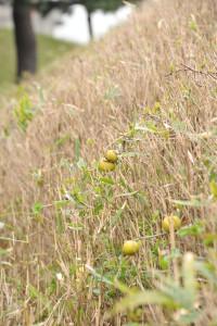 Nikon Digital Camera D700 木瓜の実=ぼけのみ ※ボケは花後に実ができます☆実には芳香があり、ホワイトリカーなどに漬けてつくる「ボケ酒」などがあるそうです♪ぜひとも試してみたいところですよね(^^)/