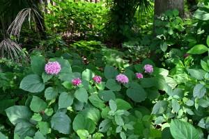 Nikon Digital Camera ぼたんくさぎ=牡丹臭木=Rose glorybower シソ科クサギ属の低木 あじさいに似た花を咲かせます