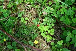 Nikon Digital Camera へびいちご=蛇苺=Potentilla hebiichigo バラ科ジムシロ属の多年草