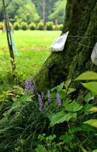 Nikon Digital Camera やぶらん=藪蘭=Liriope muscari キジカクシ科ヤブラン科の多年草