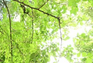 Nikon Digital Camera 野茉莉/斉墩果=えごのき=Styrax japonica エゴノキ科エゴノキ属の落葉高木☆北海道~沖縄まで日本全国に分布☆ 和名の由来は、果実の皮が有毒で「えぐみ」があることによります。 昔はこの果実をすりつぶして川に流す漁法が行われていたそうです。 趣味の園芸さんのサイトに詳しい情報がございます。https://www.shuminoengei.jp/m-pc/a-page_p_detail/target_plant_code-887