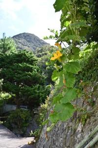 Nikon Digital Camera  かぼちゃのはな=南瓜の花 ※晩夏に咲いたカボチャ☆先に生りかけの小さな実が見えます♪