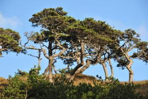 Nikon Digital Camera D700 貫禄の黒松=かんろくのくろまつ ※海風が直接当たる場所に生えているクロマツ☆茎が不思議な感じに曲がっておりました。
