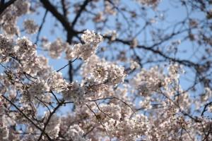 Nikon Digital Camera D700 真昼の桜花☆