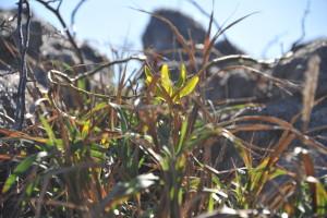 Nikon Digital Camera D700 荒磯のトベラ ※画像中央の植物です☆トベラ科トベラ属の常緑広葉低木☆乾燥・潮風につよく海岸沿いなどに自生しているそうです。常緑で丈夫なことから道路の緑地帯や庭木などに利用されます。ちなみに、葉は乾燥するとそっくり返ります(^^)