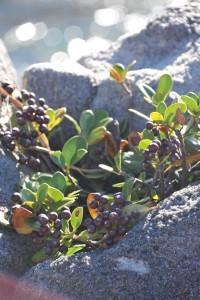 Nikon Digital Camera D700 仲秋の丸葉車輪梅=ちゅうしゅうのまるばしゃりんばい ※荒磯に自生しておりました☆こちらも海沿いなどによく生えているそうです。バラ科シャリンバイ属の常緑広葉低木。晩春の頃に梅に似た白い花を咲かせます♪