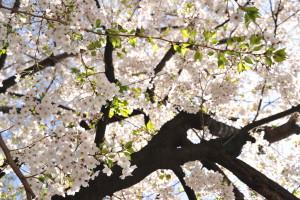 Nikon Digital Camera D700 光る桜花☆