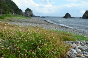 Nikon Digital Camera 溝蕎麦と海岸線=みぞそばとかいがんせん タデ科イヌタデ属の一年草。水辺などに好んで生えます。