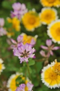 Nikon Digital Camera D700 レンゲソウとキンケイギク ※画面手前がレンゲソウ(別名:ゲンゲ)、奥のお花がキンケイギク(別名:コレオプシス)になります。 ゲンゲは戦前に化成肥料の代わりに「緑肥(りょくひ)」として使われていたそうです☆技術の進歩で、稲の早植えと化成肥料の普及が進みました。同時に春の風景であるゲンゲの咲き乱れるひと時が少なくなったそうです(^^;