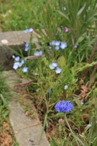Nikon Digital Camera D700 ヤグルマギクとネモフィラ ※画面手前のお花がヤグルマギク(別名:セントーレア)、奥のお花がネモフィラになります