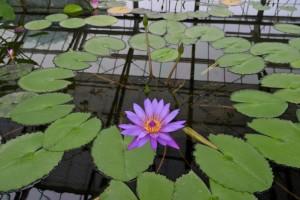 Nikon Digital Camera 熱帯睡蓮=ねったいすいれん=Tropical Water Lilies