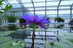 Nikon Digital Camera 熱帯睡蓮=ねったいすいれん=Tropikal Water Lilies ※スイレン科スイレン属☆熱帯睡蓮は、鮮やかな色あいが特徴的。 ネット世界に慣れた目でも見入ってしまう程の美しさ....