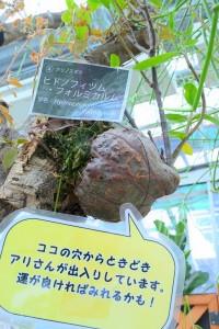 Nikon Digital Camera ヒドノフィツム・フォルミカルム=ひどのふぃつむ・ふぉるむかるむ=Hydnophytum formicarum ※アリ植物☆ アリと植物が共生関係を持つこと。 具艇的には、 ①動物などからアリに守ってもらう (防衛共生型) ②アリの排出物が栄養源 (栄養補給型) 長い年月にわたる生存競争の中で編み出した必殺技「アリと共生」。 進化の結晶といいますか、何がどうしてこうなったのか、とにかく不思議でなりませんよね(^^; ◆より詳しく知りたい方は以下をご参考に wiki https://ja.wikipedia.org/wiki/%E3%82%A2%E3%83%AA%E6%A4%8D%E7%89%A9 趣味の園芸さん https://www.shuminoengei.jp/?m=pc&a=page_s_imaatsu_024 STRINGEPLANTSさんのサイト https://stringeplants.com/