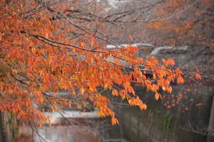 Nikon Digital Camera D700 桜の紅葉 ※川沿いに生えている桜の木です。黄色・オレンジ・赤などが入り混じっていてなんとも言えない色をしておりました。 この時期の鮮やかな葉色を見ると、元気が出るような気すらします(^^)