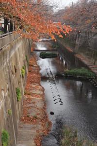 ※護岸がしっかりと守られた都会の川沿いに生えている桜の木たちの紅葉☆サクラちゃんたちにとって適度な湿度がありそうですね(^^) 場所:中板橋近辺