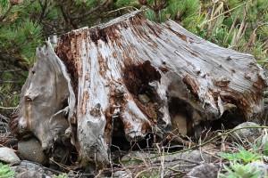 Nikon Digital Camera 流木と黒松=りゅうぼくとくろまつ