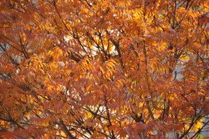 Nikon Digital Camera D700 櫨の木=はぜのき ※北大塚 空蝉橋近く。紅葉が見ごろに感じました☆