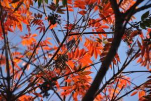 Nikon Digital Camera D700 櫨の木=はぜのき ※紅葉した葉のあいだに、たくさんの実がついているのが見えました☆