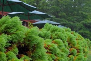 Nikon Digital Camera 針葉樹と雨=しんようじゅとあめ=Conifers and Rain